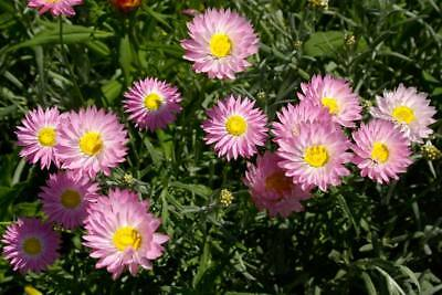 Pink Cluster Everlasting  (Schoenia cassiniana) 30 Fresh Seeds
