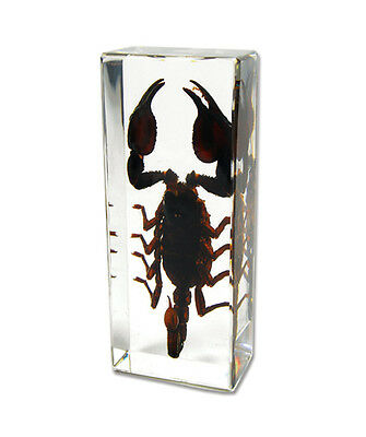 BLACK SCORPION Genuine INSECT Desktop Lucite Paperweight  Paper Weight  Large