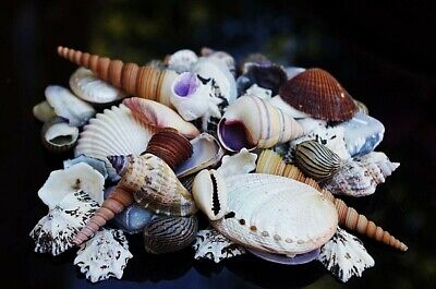 Beach Mixed  SeaShells (50-60 Shells)100g Mix Shells inc 3 Screw Shells