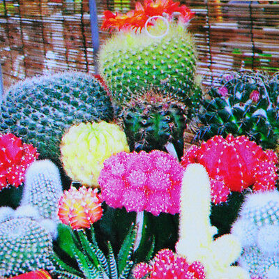 As 10 Colorful Cactus Flower Seeds Plant DIY Garden Home