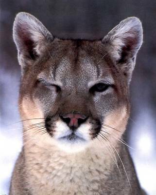 A Winking Cougar - Close-Up: 8x10 In. Photo Print