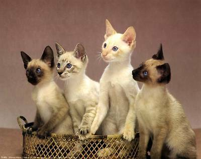 Siamese Kittens: Cute 10x8 In Photo-Print/Mini-Poster