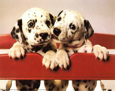 Two Adorable Dalmatian Puppies: Really Cute 10x8 In. Photo-Print