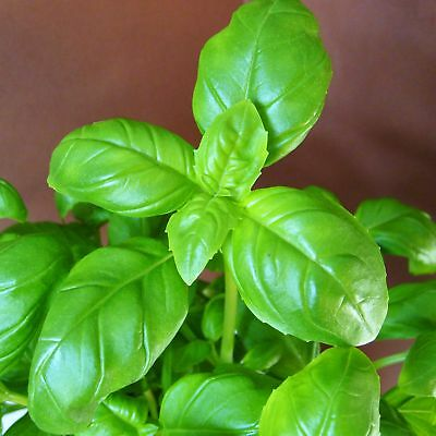 BASIL - SWEET GENOVESE - multiples of 25,000 seeds custom packed to order