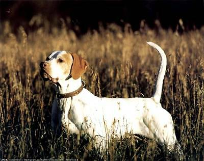 ENGLISH POINTER: 10x8 In. Photo Art Poster/Print