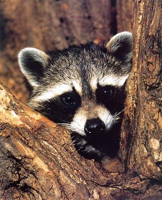 Young Raccoon Close-Up: Cute 8x10 In. Print