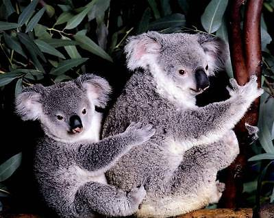 Koala Mother and Baby: Cute 10x8 In. Print