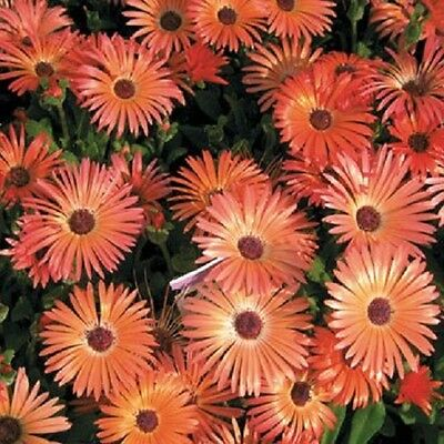 500 Ice Plant Seeds Orange Livingstone Daisy Seeds flower seeds iceplant