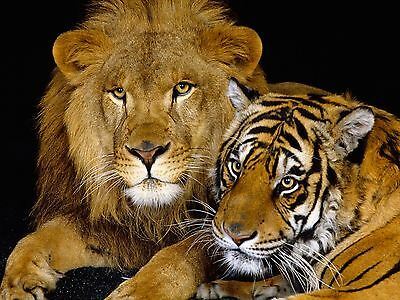 Lion & Tiger Large A3 Photo Picture Print Large Print Size 16x11 inch Poster NEW