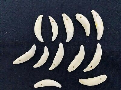 100 COYOTE TEETH Natural White Antiqued Taxidermy Animal Mount Display Jewelry