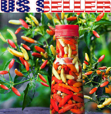 30+ ORGANICALLY GROWN Tabasco Hot Pepper Seeds Red Chili Heirloom NON-GMO USA