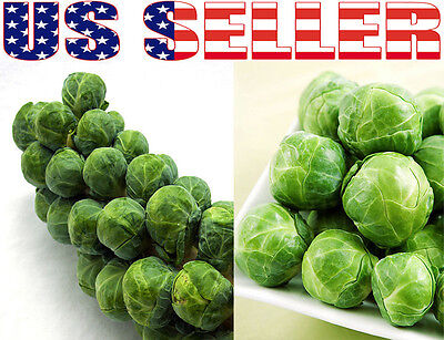 Brussel Sprouts Seeds Long Island