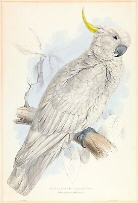 "Edward Lear : ""Greater Sulphur-crested Cockatoo"" (1832) — Giclee Fine Art Print"