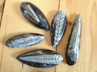 Orthoceras Fossil Polished Pear Drop Collectable