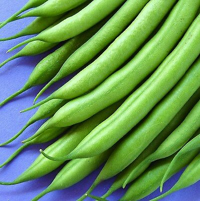 CLIMBING FRENCH BEAN - BLUE LAKE - 500 Seeds [..ideal for early protected crops]
