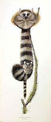 WARWICK HIGGS Learning the Ropes RACCOON procyon lotor! SIZE:70cm x 30cm  RARE