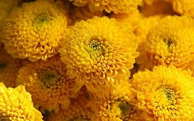 Chrysanthemum Seeds Yellow Button Flower Seeds 100 Seeds