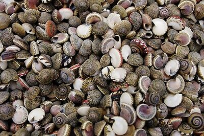 Button Umbonium Seashells, Craft, Wedding Sea Shells, Mini Shells aprox. 10mm