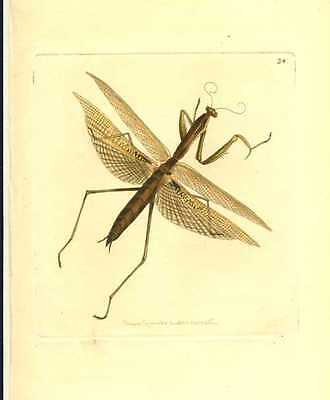 Antique print of New Holland Mantis, engraved by Nodder, c1814.