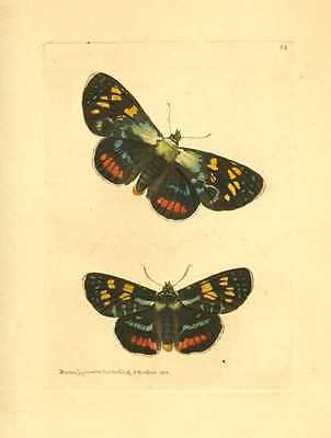 Australian Lepidoptera antique print, Painted Agarista by Nodder, c1814