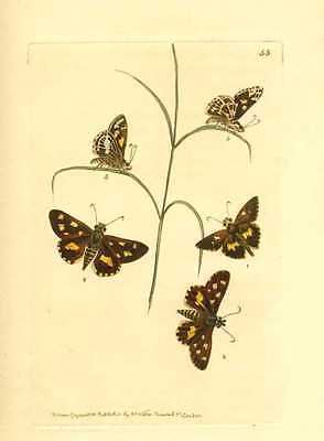 Australian Insects engraving. Painted Skipper by Nodder for George Shaw c1814