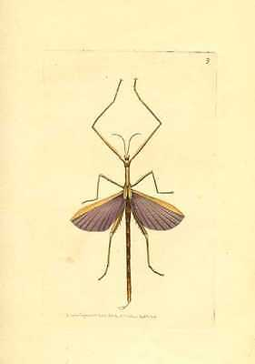 Australian Violet Phasma. Entomology engraving by Nodder for George Shaw c1814.
