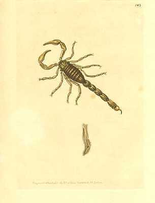 Antique print of Scorpionoides. Australian Scorpion engraved by Nodder, c1814