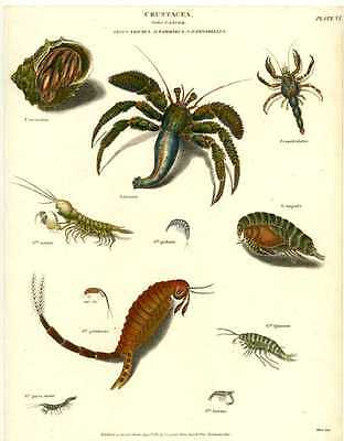 Antique print of Crustacea. Order Cancer (Crabs) Plate 6 c1810