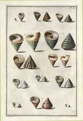 Sea Shells from the Museum of Niccolo Gualtieri. Plate 61, c1742