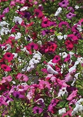 PETUNIA Laura Bush Mixed  500 SEEDS Rose Violet Colors Fragrant Reseed