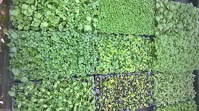 Pick 'n' Mix Mint / Herb Plug Plants - Chocolate, Apple, Banana, Strawberry