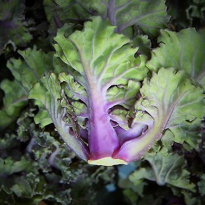 FLOWER SPROUT  (KALETTES) - multiples of 100 seeds custom packed to order