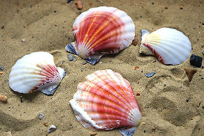 Strawberry Fan Natural Sea Shells Medium Seashells; Weddings Craft & Decor Shell