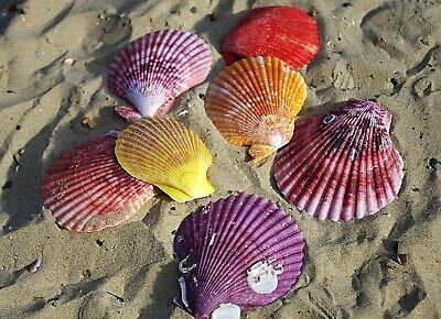 Pecten Noblis Natural Scallop Sea Shells Medium Seashells Weddings Craft & Decor
