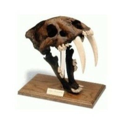 Saber Tooth Tiger Skull W/Stand - Tarpit Finish 0304 New By Skullduggery