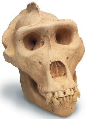 Lowland Gorilla Skull Antique Finish 0206 New By Skullduggery