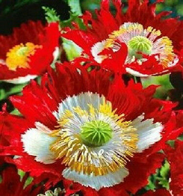 500 Danish Flag Poppy Seeds  FLOWER SEEDS