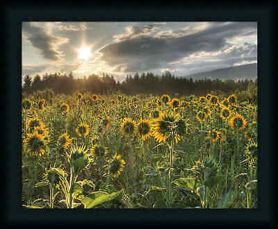 Good Day Sunshine by Lori Sunflower Field Framed Art Print Wall Décor Picture
