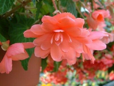 15 Seeds Begonia Trailing Cascade Beauty Rose Pelleted Seeds
