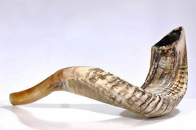"Ram Shofar Horn Kosher Natural 13""-15"" Judaica"