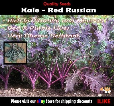 Kale Red Russian 100 Seeds Minimum. Vegetable Garden Plant. Disease Resistant.