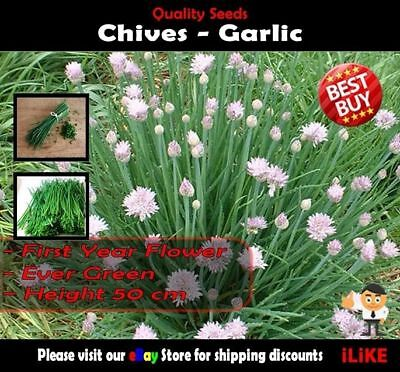 Chives Garlic 50 Seeds Minimum. Vegetable Garden Herb. Easy to Grow Perennial.