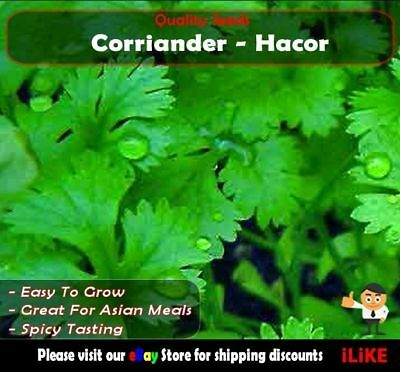 Coriander Hacor 100 Seeds Minimum. Vegetable Garden Herb. Slow Bolting.
