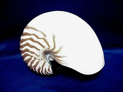 "Sea Shell 6"" Beautiful Giant Natural NAUTILUS with Brown Stripes OVER 120mm"