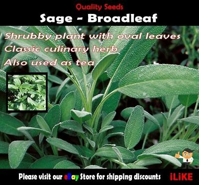 Sage Broadleaf 50 Seeds Minimum. Vegetable Garden Herb. Very High Yield.