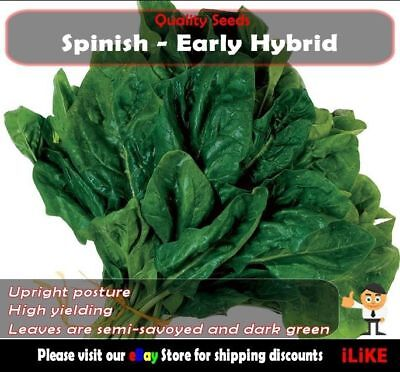 Spinach Early Hybrid 100 Seeds Minimum. Vegetable Garden Plant. Excellant Type .