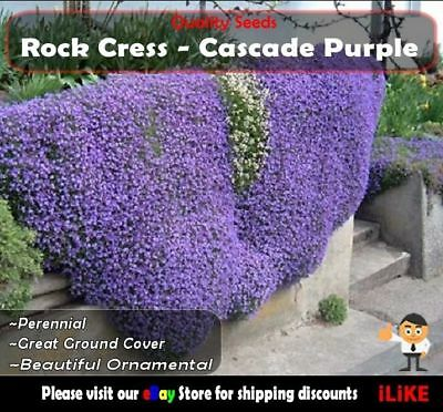 Rock Cress Cascade Purple 50 Seeds Minimum Garden Flower. Aubrieta Cultorum.