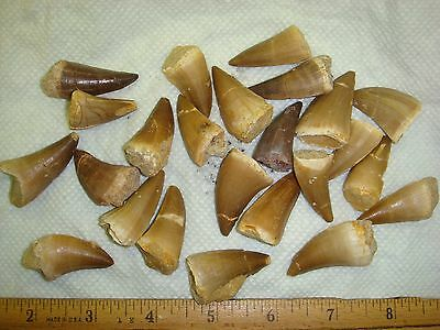"Dinosaur Mosasaur Tooth - Morocco - Random - most 1""+ Tooth Repaired Glued"