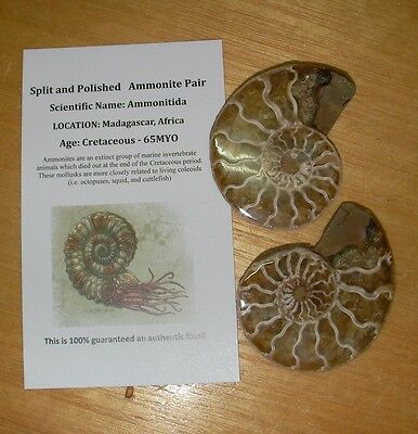 Fossil Sliced and polished Ammonite Madagascar split pair Dinosaur era 40 + mm