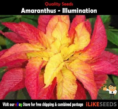 Amaranthus Illumination 100 Seeds Minimum Garden Flower Colourful and Hardy